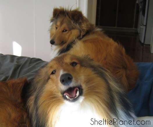 Our Shelties talk to us