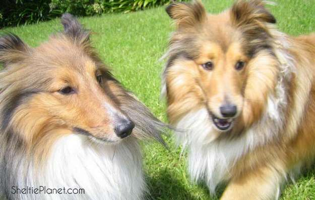 Our Shelties, Howard and Piper