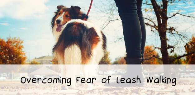 Fear of Leash Walking in Shelties
