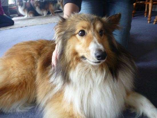 Photos from our Sheltie Meetup (Auckland)