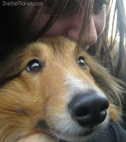 Piper is an Affectionate Sheltie