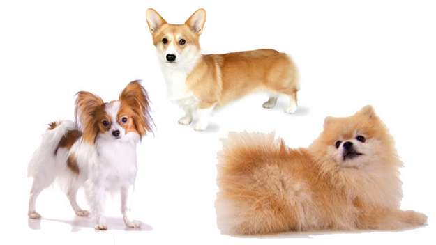Early Shelties were likely crossed with Pomeranians, Papillons and Corgis