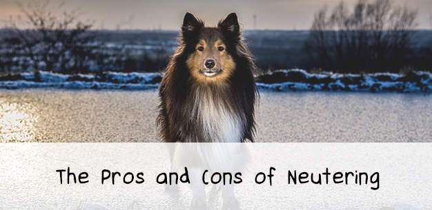 The Pros and Cons of Neutering a Sheltie