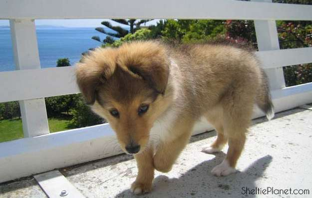 Sheltie puppies are the best