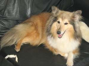 Sarah The Sheltie