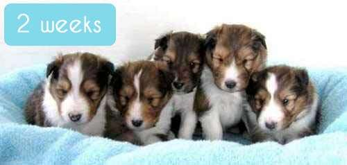 Shelties at 2 Weeks Old