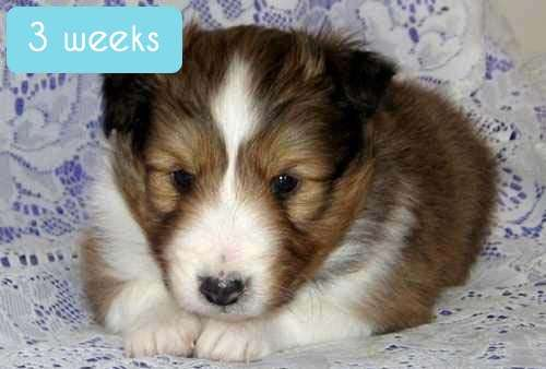 Still teeny: A Sheltie at 3 weeks old
