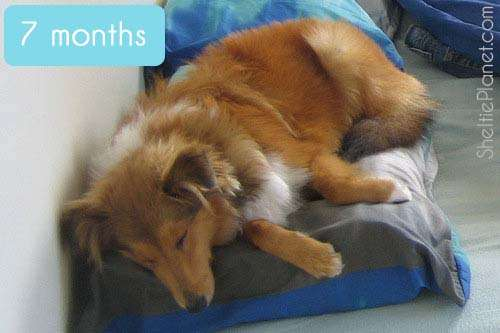 Resembling an adult Sheltie at 7 months old