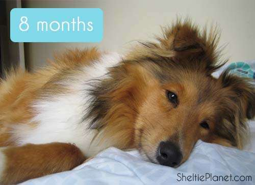A happy 8 month old Sheltie