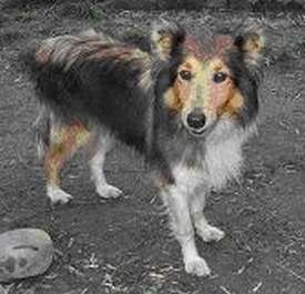 Tess The Sheltie Before Adoption