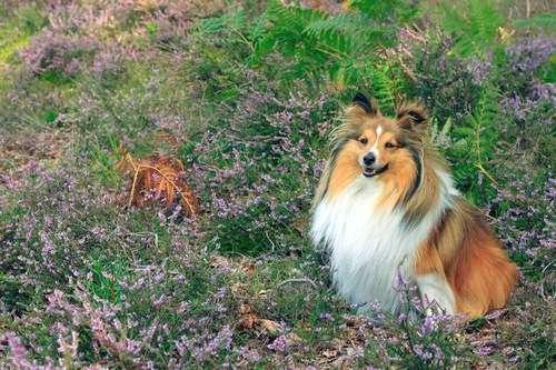 Sheltie Among Flowers