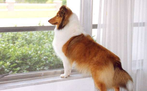 Shelties are super watchdogs