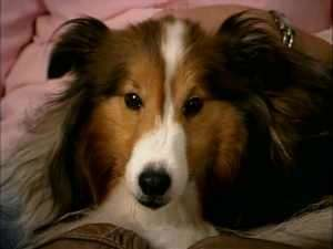 Rana The Sheltie on The Dog Whisperer
