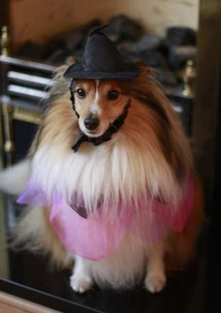 Sheltie Dress Up