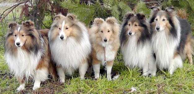 the sheltie family tree collie cousins and greenland grandparents
