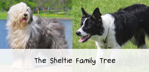 The Sheltie Family Tree