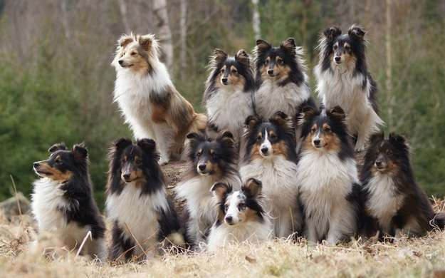 Sheltie FAQ