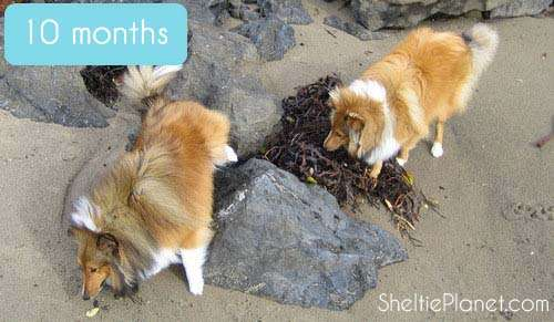 Sheltie Growth Stages: 10 Months Old
