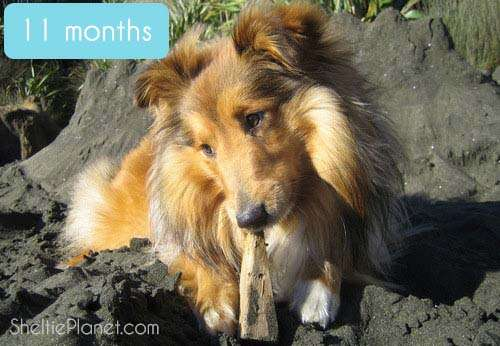 Our adorable Sheltie at 11 months