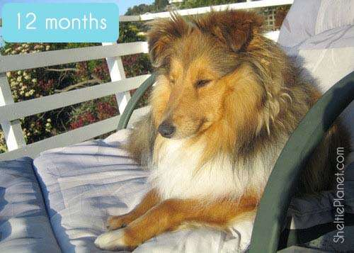 Sheltie Growth Stages: 12 Months Old