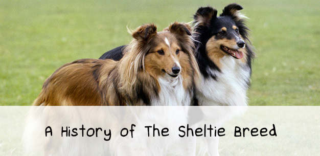 The History of The Sheltie Breed