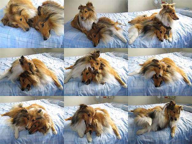 A totally natural Sheltie hug