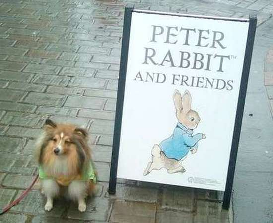 Sheltie with Peter Rabbit