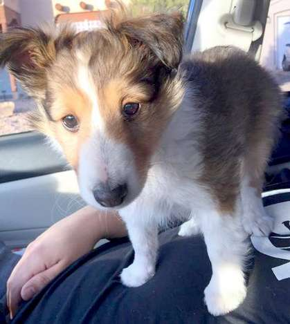Tako the Sheltie puppy