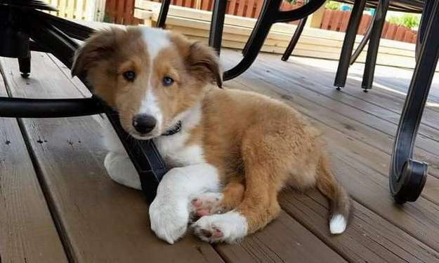 Our Sheltie Frankie at 14 weeks. By John Granitz