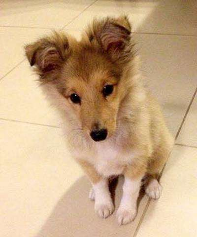 My Sheltie puppy. By Estee Bukay