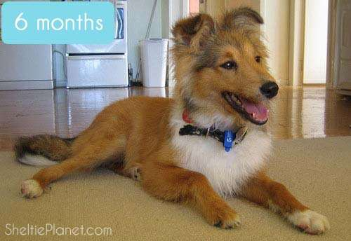 Shelties look like gangly coyotes by 6 months old