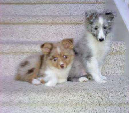 Apache (a Mini Aussie) and Merlin (a Bi Blue Sheltie)