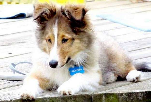 Our rotten Sheltie Cas! By Rhonda Welsh