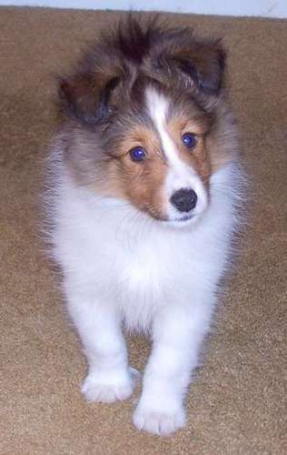 I miss my Sheltie