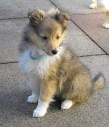 Our Sheltie Woody at 8 weeks. By Robert Bray