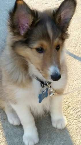 Sheltie Puppies in Pictures