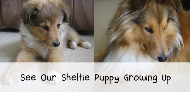 Sheltie Puppy Development in Pictures