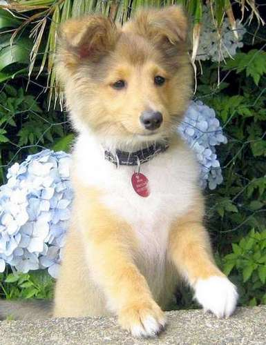 sweet shelties on Pinterest | Shetland Sheepdog, Collie ...