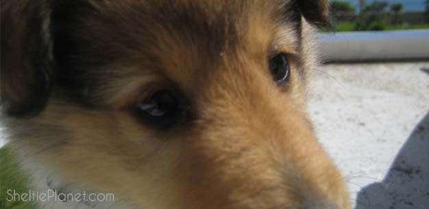 Sheltie Puppy Training