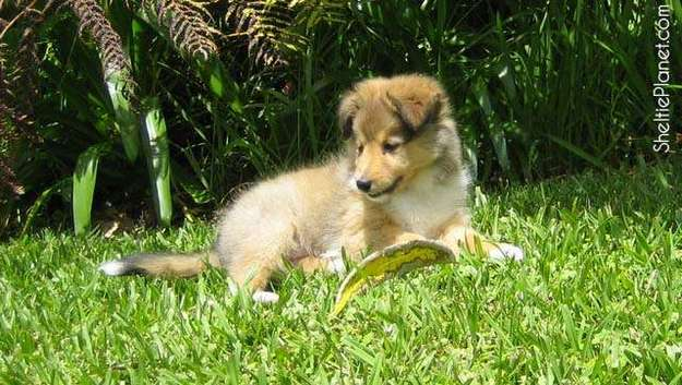 Where can I get a Sheltie puppy?