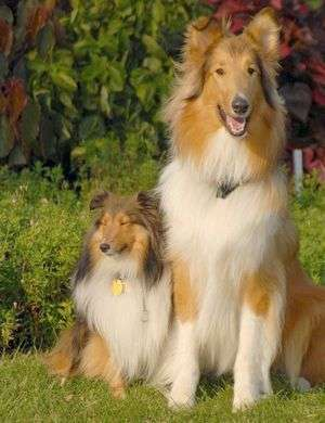 A Sheltie Next to Its Cousin, The Rough Collie