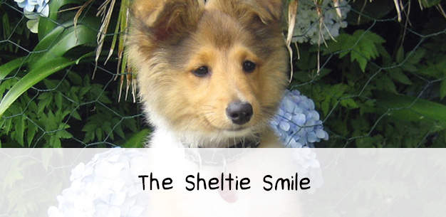 The Sheltie Smile