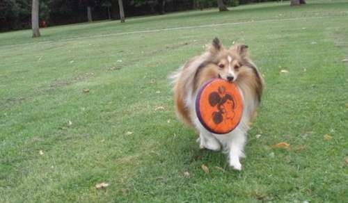 Sheltie with Frisbee