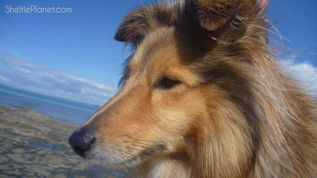 Shelties are beautiful dogs