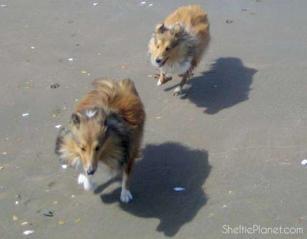 Shelties Are Playful