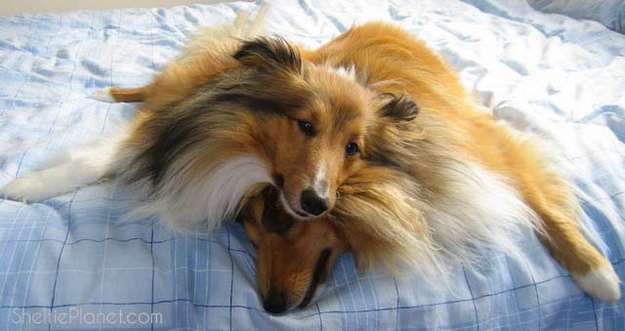 Sheltie Dogs Are Quirky