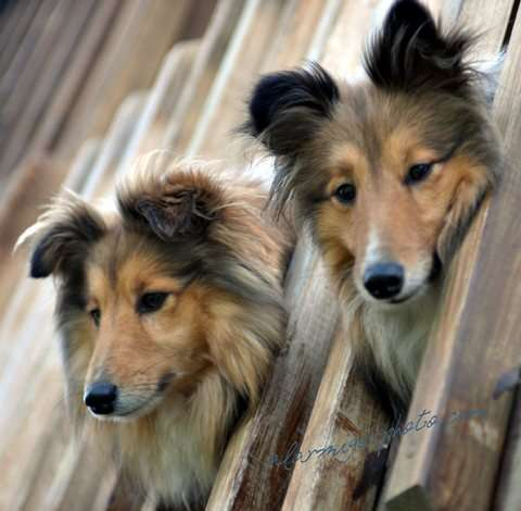 Shelties Being Adorable