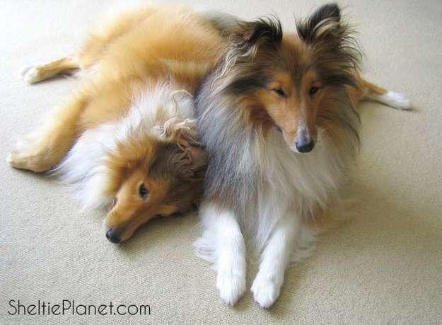 Shelties Being Sweet: Us? Bark? Never!