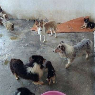 Shelties and Collies Rescued from The Dog Meat Trade in South Korea