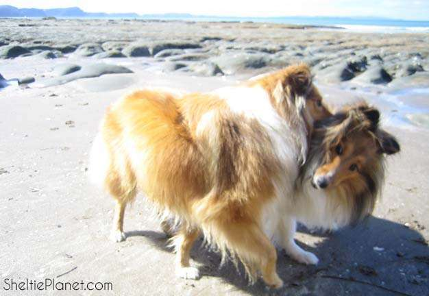 Shelties Playing at The Beach
